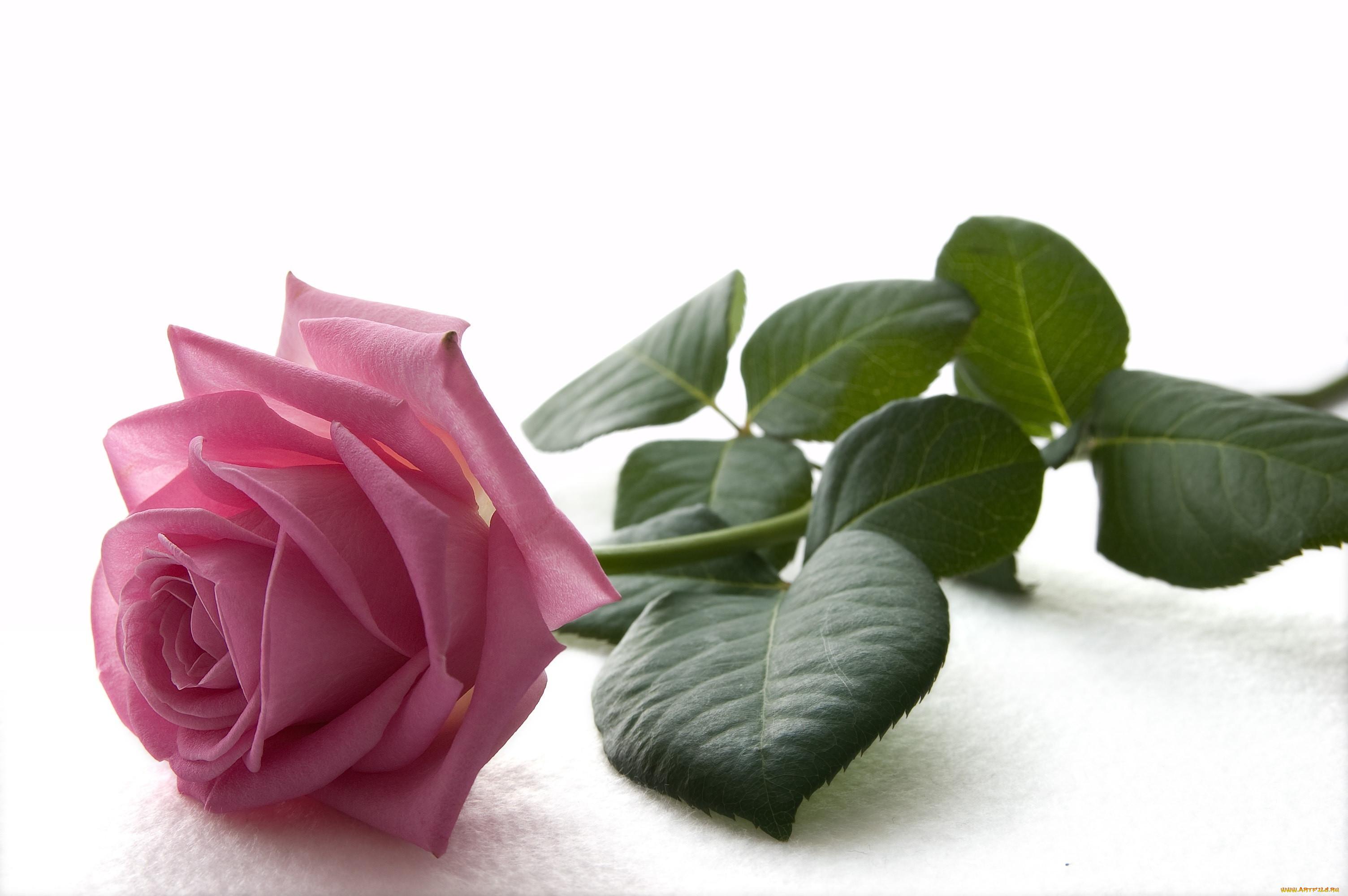 Розы картинки словами